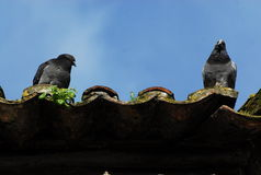 Pigeons at roof Stock Photo