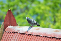 Pigeons on the roof. Red Royalty Free Stock Photography