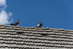 Pigeons on the roof. Of a rural house Stock Photo