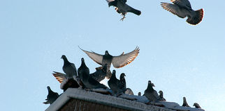Pigeons on the roof with snow Royalty Free Stock Image