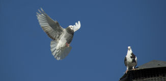 Pigeons on roof in summer sun day and blue sky Stock Photo