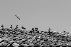 Pigeons in a roof of tiles in black and white Stock Images