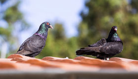 Pigeons on the Roof Stock Photo