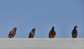 Pigeons roost on tile roof of building with blue sky space above. For typeset Stock Photography