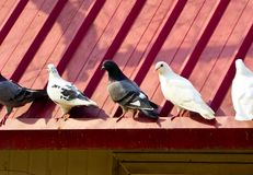 Pigeons roosting on a roof. In Shanghai university China on a sunny day Stock Photo