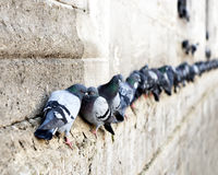 Pigeons in a row. On ancient stone wall Royalty Free Stock Image