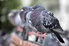 Pigeons in a row Stock Image