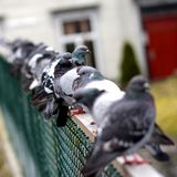 Pigeons in a row. Pigeons sitting on the fence Stock Photo