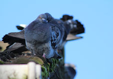 Pigeons in a row Royalty Free Stock Images