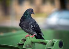 Pigeons on rubbish bins, health care issues royalty free stock photo