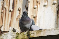 2 pigeons on a rusty bridge stock photography