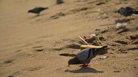 Pigeons sélectionnant sur Marine Debris On The Beach banque de vidéos