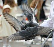 Pigeons s'agitant tout en mangeant Photo stock