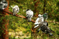 Pigeons. That's the company spans the feathery pine outside my window every morning Royalty Free Stock Photography