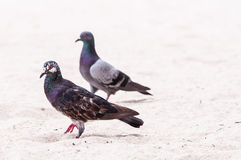 Pigeons on sand Stock Photography