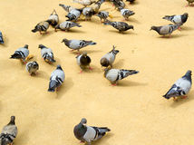 Pigeons on the sand eating bread Stock Photo