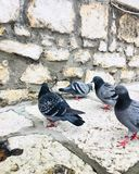 Pigeons during winter stock images