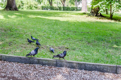 Pigeons sauvages Image stock