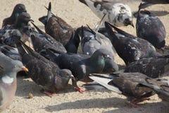 Pigeons sauvages - vue de face Images stock