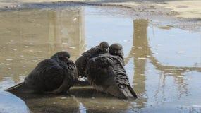 Pigeons se reposant dans un magma et un bruit fâché Images libres de droits