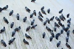 Pigeons se reposant sur le stupa de Swayambhunath Photos libres de droits