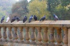 Pigeons se tenant sur le mur Image libre de droits