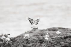 Pigeons at the sea shore. Puerto de la Cruz Canarie Islands Spain Royalty Free Stock Image