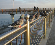 The pigeons of the sea. Pigeons sitting on the railing on the Baltic sea promenade Stock Photos