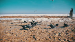 Pigeons and Seagulls Eat Bread on the Beach in Winter Frozen Ice-Covered Sea Background. Slow Motion. In 96 fps. Many hungry gulls fly in the air stock video footage
