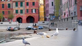Pigeons and seagulls in small marina of Vernazza, Cinque Terre, Liguria, Italy