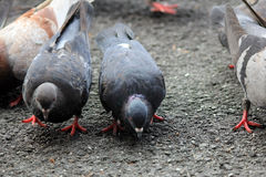 Pigeons sharing their feed Royalty Free Stock Images