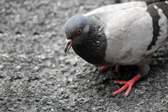 Pigeons sharing their feed Stock Photography