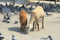 Pigeons & Sheep Feeding . Stock Photo