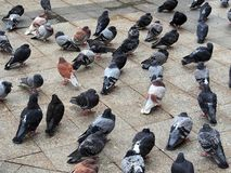 Pigeons Shivering in Cold, Athens Stock Images