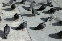 Pigeons on sidewalk Royalty Free Stock Photography