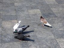 Pigeons on a sidewalk eating dry rice Vietnam Royalty Free Stock Image