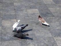 Pigeons on a sidewalk eating dry rice Vietnam Royalty Free Stock Image