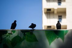 Pigeons on a sign on the background of the building. stock photos