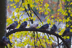 Pigeons sit on autumn tree branch Stock Photo