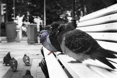 Pigeons sit on the bench , one stands out from the crowd. Be yourself don`t imitate others. Pigeons sit on the bench , one stands out from the crowd Stock Photography