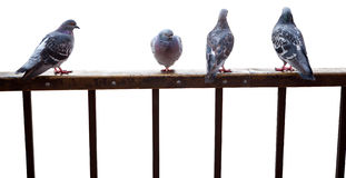 Pigeons sit on fence isolated. On white Stock Images