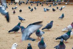 Pigeons sit and fly in the park. Many pigeons Stock Photos