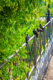 Pigeons sit in a line in the park Royalty Free Stock Photos