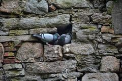 Pigeons sit on projections of an stone wall royalty free stock photo