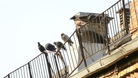 Pigeons sit on roof enclosure in the morning cleaning feathers stock video footage