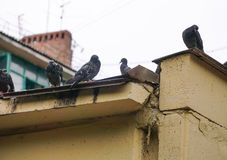 pigeons sit on the roof of the house Stock Photography