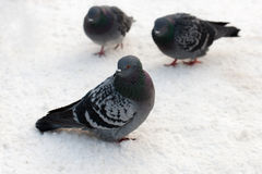 Pigeons sit on the snow Royalty Free Stock Photography