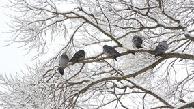 Pigeons sit on a tree in a winter forest. Birds on the branches of a tree in a park in the winter. Pigeons sit on a tree in a winter forest stock footage