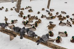 Pigeons sit on a wooden fence in the city Park. Winter day, snow. In the background is the Mallard duck.  Royalty Free Stock Photo