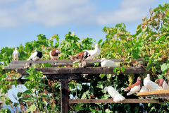 Pigeons sitting Stock Image
